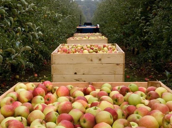 """Ze zijn er weer, de Hagelandse appelen en peren: """"Uitzonderlijk zoet, maar…"""""""
