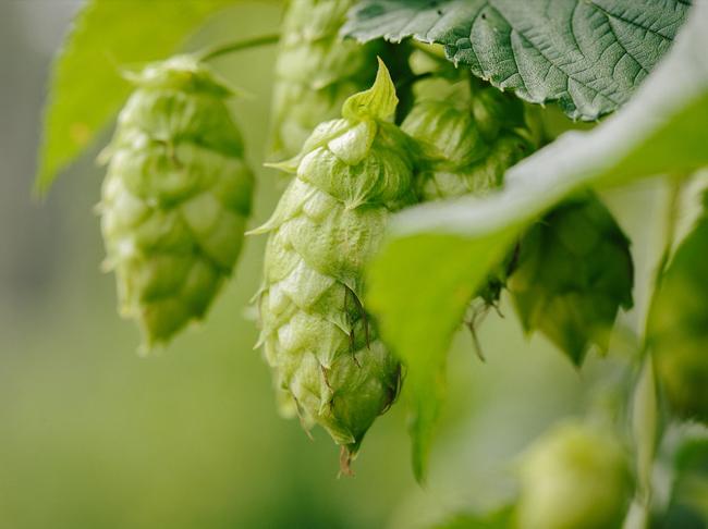 Bier met hopsmaak, maar dan zónder hop