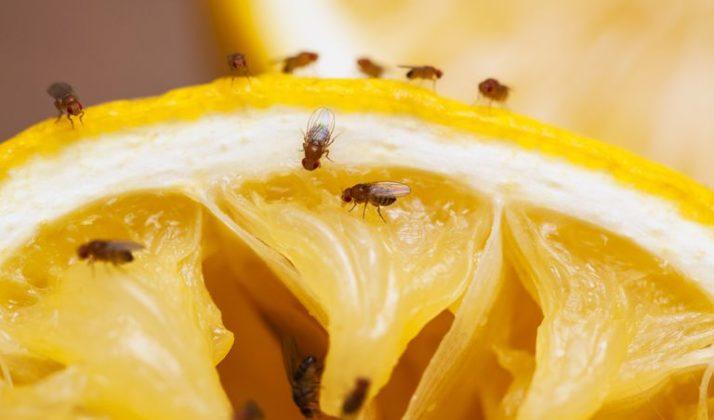 Fruitvliegjes weghouden